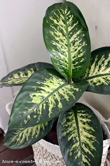 Tropic Snow Dieffenbachia - Cozy Living with Plants