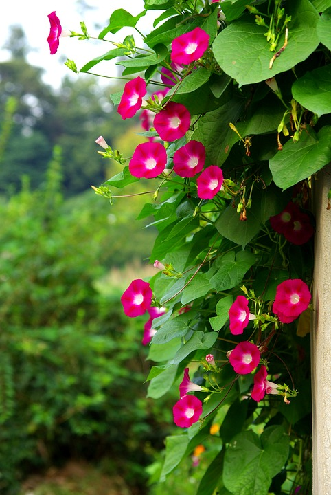 Morning Glories in the Garden