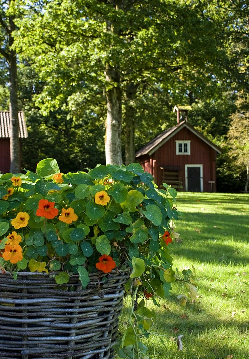 Nasturtiums in a Woven Basket