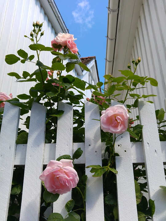 Climbing Roses on White Picket Fence