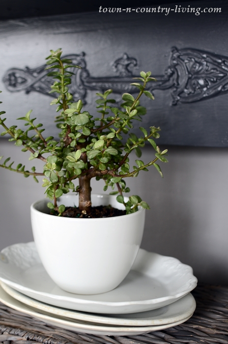 Jade Plant in White Pot with Ironstone Platters