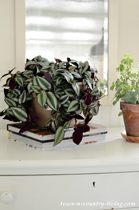 Wandering Jew Houseplant