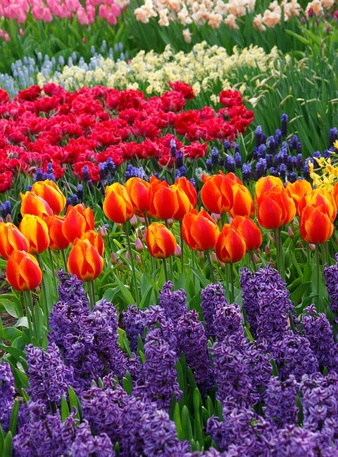 Spring Bulb Garden Idea with Tulips and Hyacinths