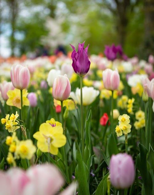 Tulip Garden Ideas for Your Yard