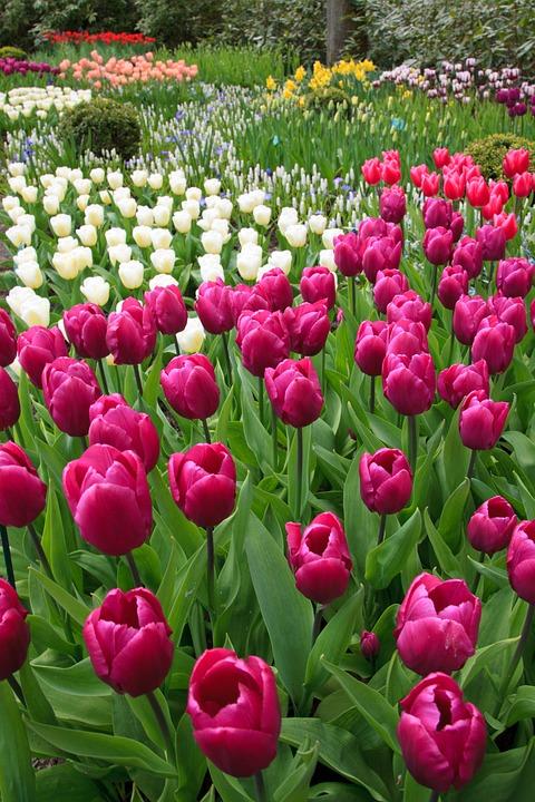 Deep Pink Tulip Garden
