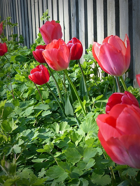 Red Tulips by a Picket Fence