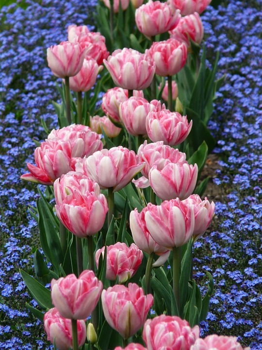 Pink and White Tulips for a Spring Garden
