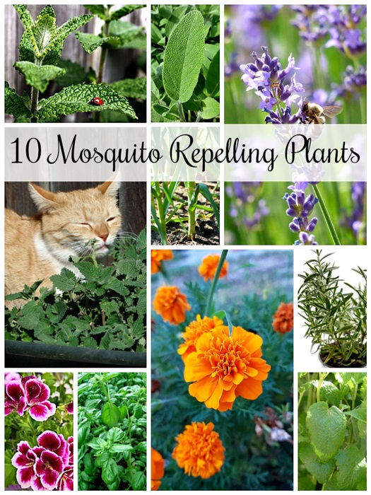 List of Mosquito Repelling Plants