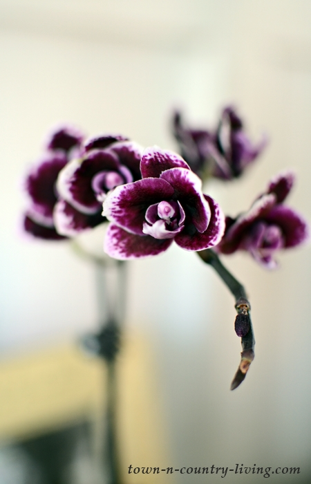 Deep Purple Orchid Blooms