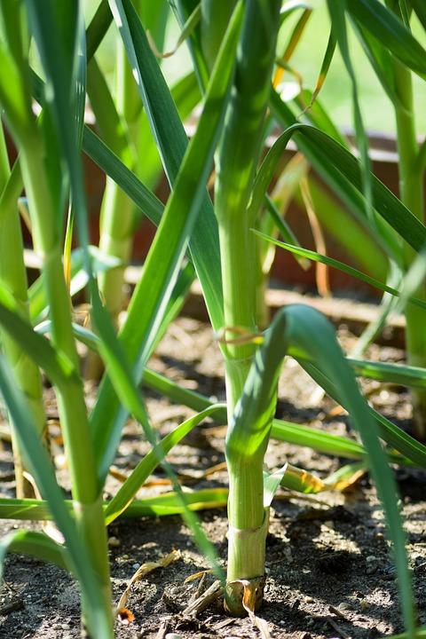 Growing Garlic in Your Garden