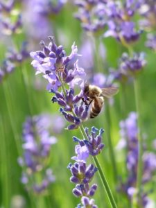 Lavender adds color in the garden and is also an excellent mosquito repelling plant