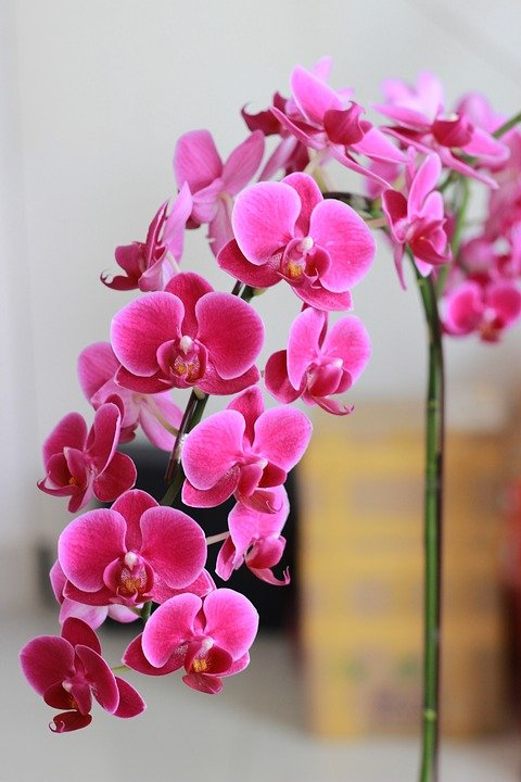 Cascading pink orchids