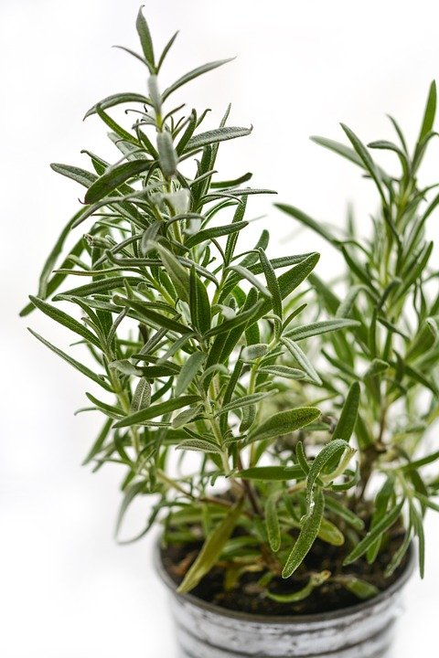 Rosemary - cooking herb and mosquito repelling plants