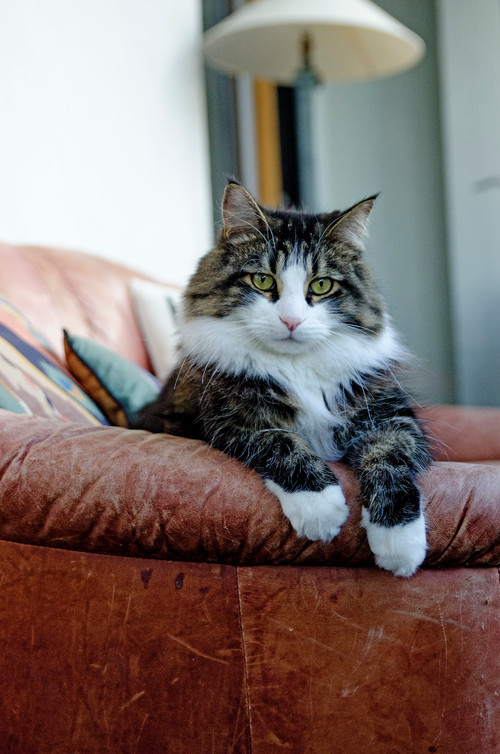 Beautiful Long-Haired Cat on a Leather Sofa