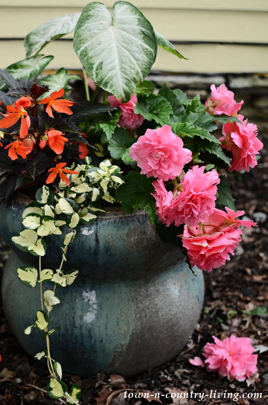 Container Garden with Tuberous Begonias and Vinca Vine