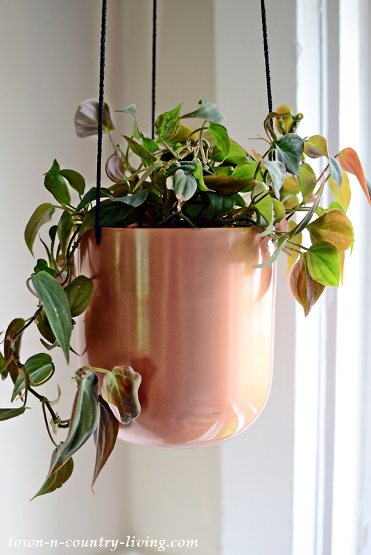 Philodendron Micans in Hanging Copper Pot