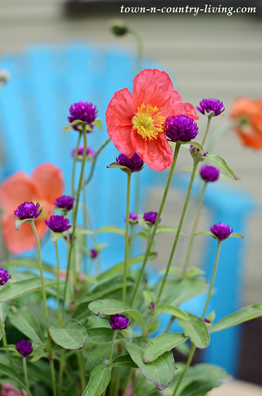 Iceland Poppies in a Container Garden