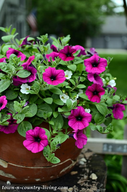 Wave Petunias in Broken Ceramic Pot