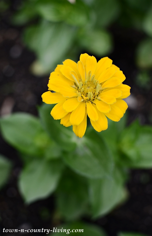 Yellow State Fair Zinnia