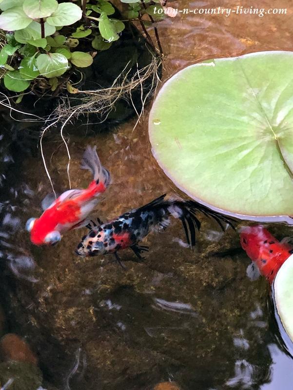 Exotic Goldfish in Garden Pond