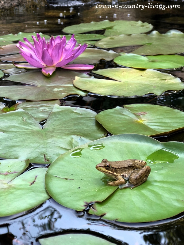 Frogs and Waterlilies in a Garden Pond