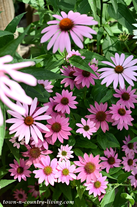 Pink Coneflowers in a Cottage Garden