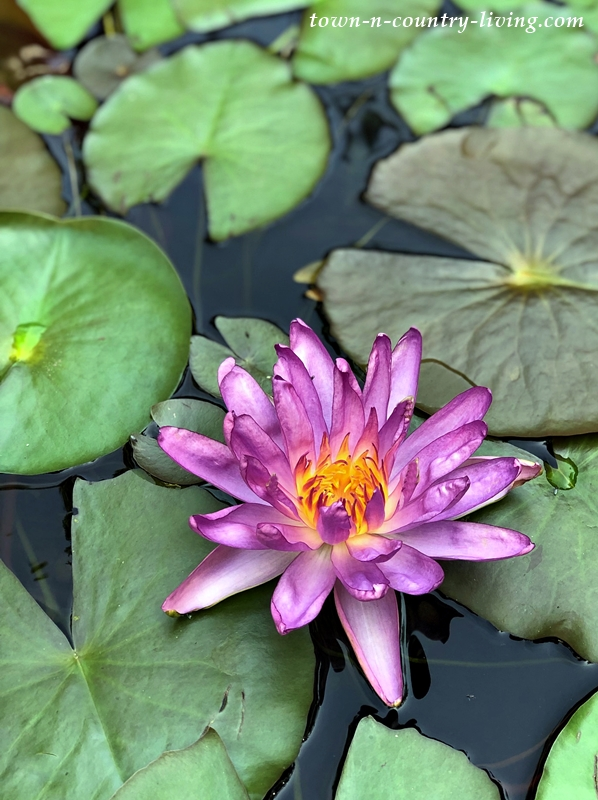 Violicious Waterlily - the first purple hardy waterlily