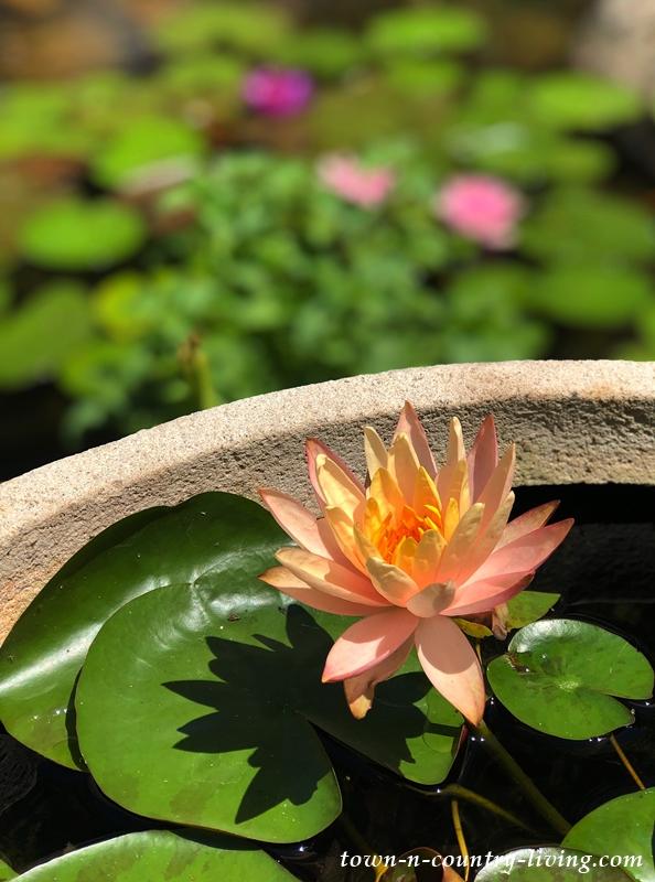Waterlily in Mini Pond
