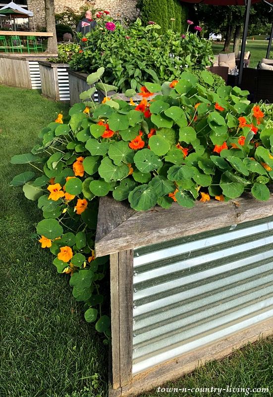 Nasturtiums in Raised Garden Beds