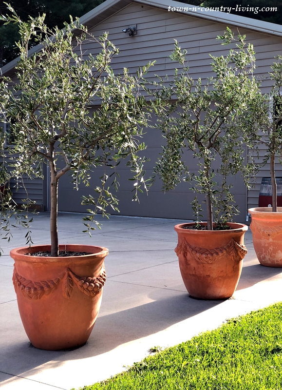Potted Olive Trees at Stone's Throw Winery