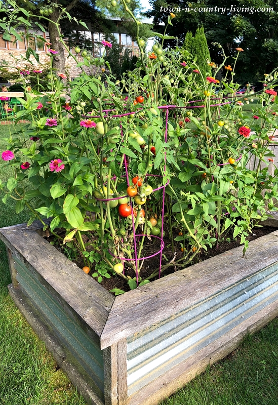 Zinnias and Tomatoes in Raised Garden Bed