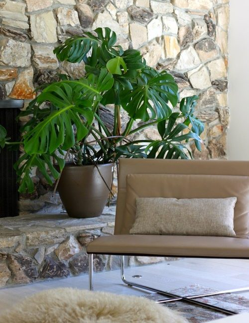 Monstera or Split Leaf Philodendron in Front of Stone Fireplace