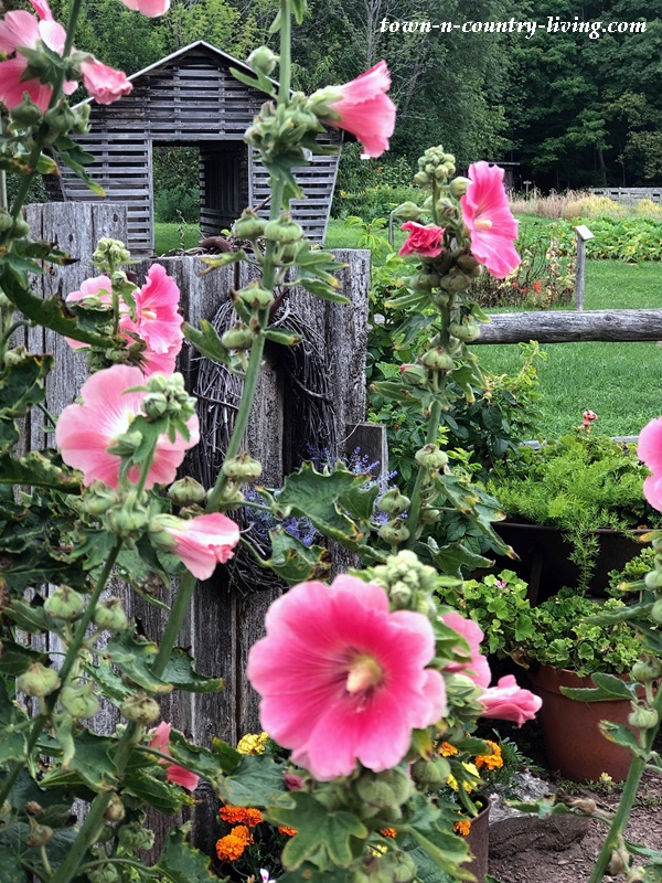 Pink Hollyhocks at the Animal Farm