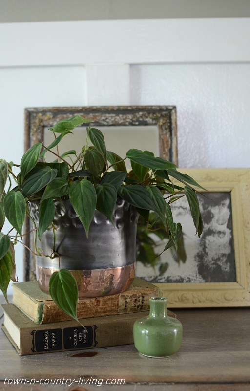 Micans Philodendron