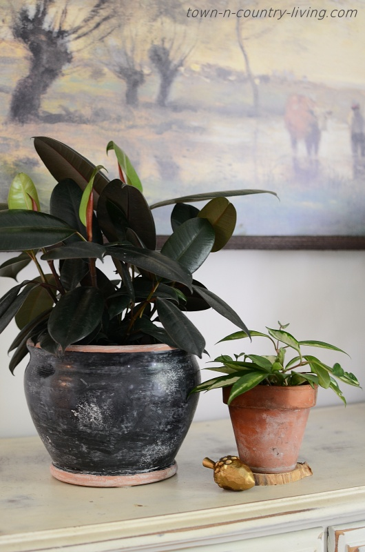 Rubber Plant and Hoya Plant in Pottery Jars