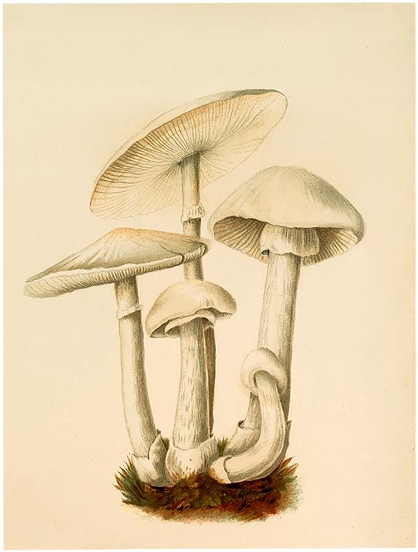 Vintage White Mushrooms