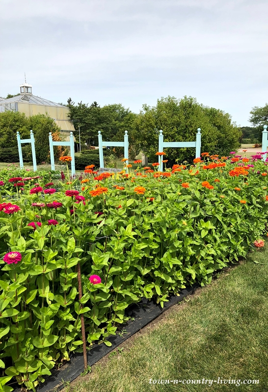 Zinnias in a U-Pick Flower Garden