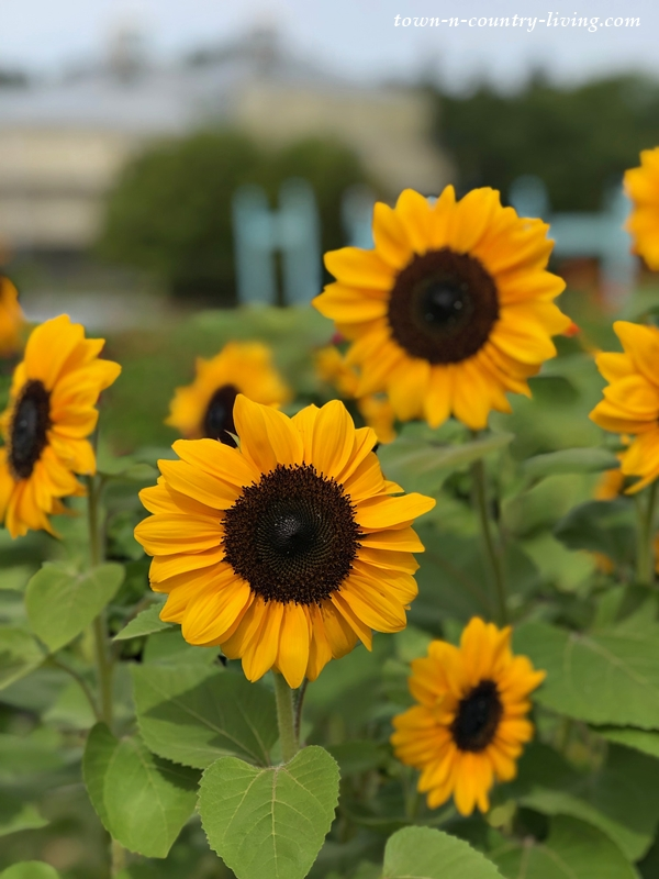 Sunflowers at U-Pick Flower Garden