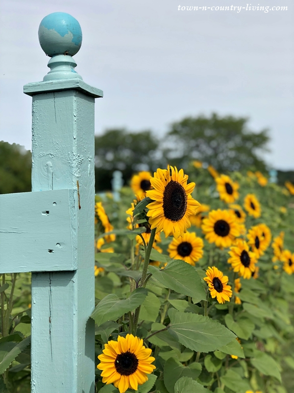 Sunflowers at Shady Hill Gardens