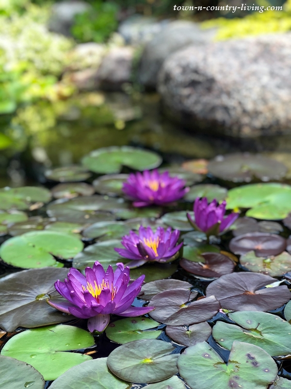 Purple Waterlilies in Garden Pond