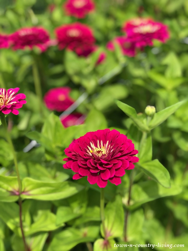 Zinnias in U-Pick Flower Garden