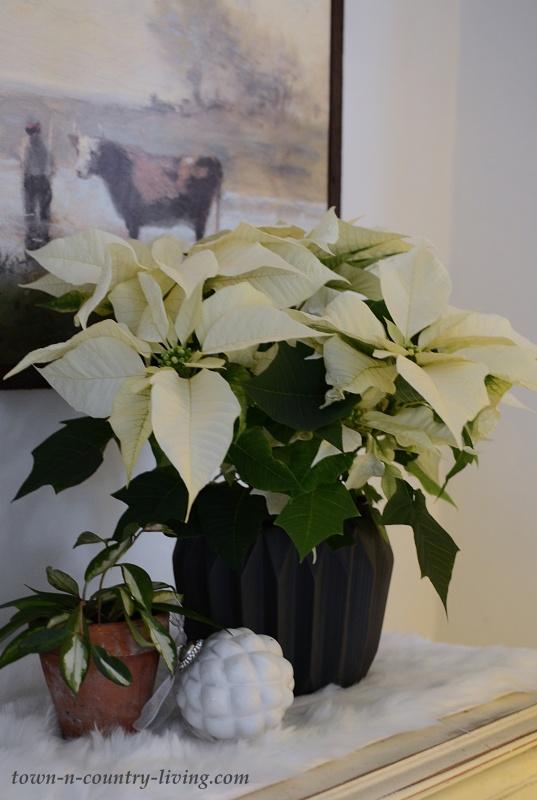 Creamy White Poinsettia