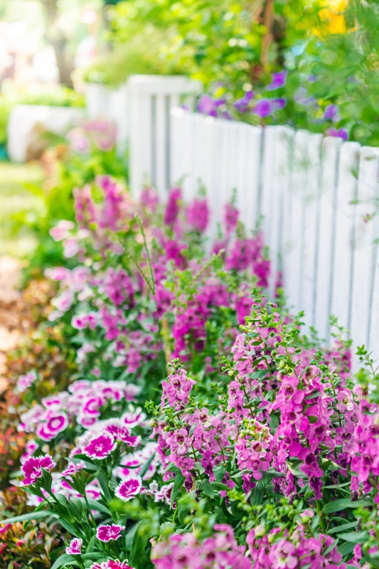 Pink Flowers Along a White Picket Fence in a Cottage Garden