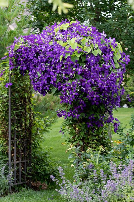 Garden Arbor with Purple Clematis