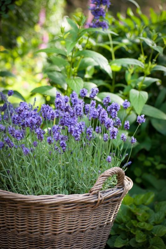 Growing Lavender in a Basket