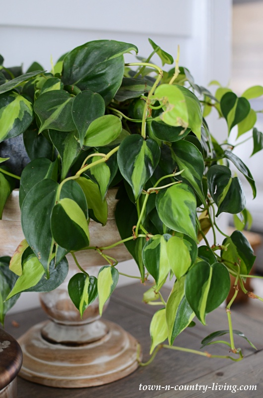 Philodendron Brasil in Footed Wooden Bowl