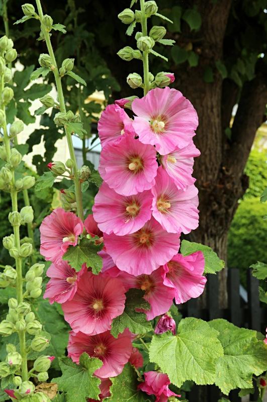 Common Pink Hollyhocks
