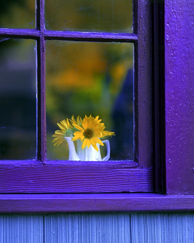 Purple window with small white pitcher of tiny sunflowers