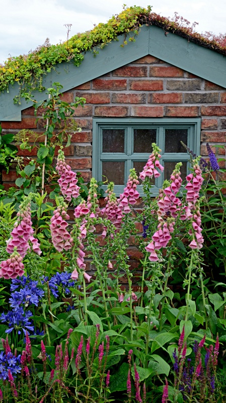 Small garden brick shed with a planted Sedum roof and a boder pink Foxgloves Digitalis