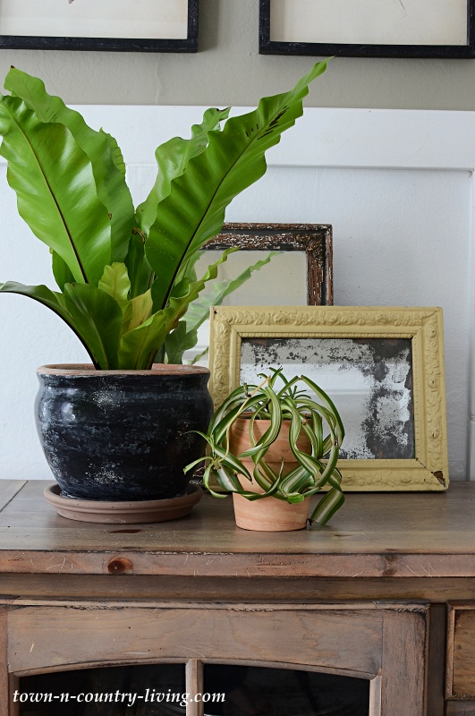 Bird's Nest Fern and Curly Spider Plant